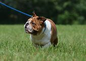 dog on leash - english bulldog walking on blue lead