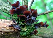 Auricularia Auricula Mushrooms