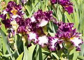 Irises Of Violet And White Colours