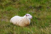 July in Iceland. White Icelandic sheep grazing in the meadow