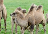 Camel Baby