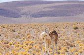 Bolivia, Antiplano - vicuna