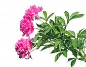Bouquet Of Three Beautiful Pink Peonies Isolated