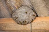 image of wasp sting  - Closeup view of wasps and huge nest below asbestos roof - JPG