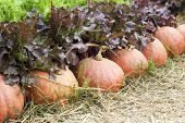 Fresh Pumpkins With Hydroponic Vegetable