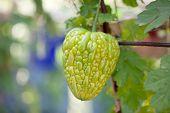 image of bitter melon  - Bitter melon hanging on a vine in garden - JPG