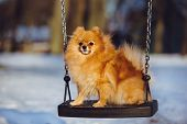 pomeranian spitz dog on a swing