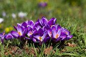Crocuses - First Spring Flowers