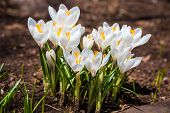Pretty white crocus in the springtime garden.