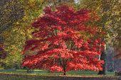 Fächer-Ahorn Acer palmatum