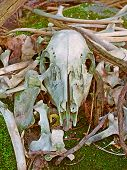 Deer Bones Wisconsin Forest