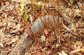Nine-banded Armadillo (Dasypus novemcinctus)