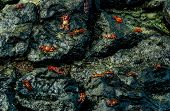 red crabs walking on rocks