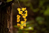 stock photo of yellow orchid  - Yellow Honey fragrant orchid  - JPG
