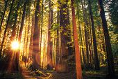 image of redwood forest  - Forest Trail Sunset - JPG