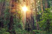 foto of sequoia-trees  - Sunny Redwood Forest in Northern California United States - JPG