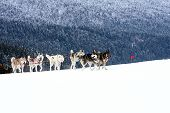 image of sled  - Group of sled dogs running through lonely winter landscape - JPG