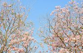 picture of trumpet flower  - Pink trumpet tree or pink Tabebuia flower in blue sky with copy space - JPG
