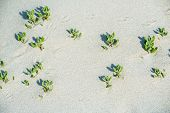foto of leafy  - Small leafy pioneer plants in soft white beach sand at Moses Rock Western Australia - JPG
