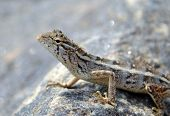 image of lizard skin  - little lizard on the rock in nature detail macro photo - JPG