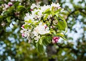 stock photo of bud  - Closeup of blossoms and buds of a crabapple tree in the early spring season - JPG
