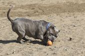 picture of pitbull  - A gray pitbull playing with a ball in the sand at the beach  - JPG
