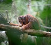 picture of orangutan  - Adult orangutan sitting deep in thoughts with jungle as a backgound shallow depth of field - JPG