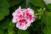 image of geranium  - Geranium flowers - JPG