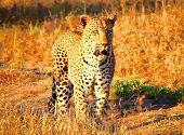 image of stroll  - Male Leopard going for a stroll through the grass - JPG