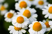 stock photo of daisy flower  - White daisy flowers - JPG