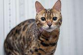 stock photo of bengal cat  - beautiful bengal cat looking at the camera - JPG