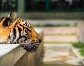foto of tigress  - Closeup on indochinese tiger relaxing in pool - JPG