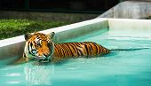 stock photo of tigress  - Indochinese tiger relaxing in pool with light - JPG