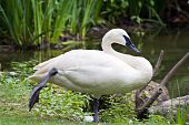 Trumpeter Swan Standing at Rest
