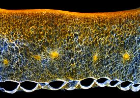 picture of microscopic  - Microscopic view of a Chili pepper  - JPG