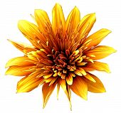 Gazania Sunset Jane