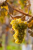 pic of rebs  - Grapes in autumn on a vine in the vineyard - JPG