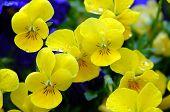 Bright Yellow Pansy 2
