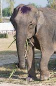 Elephant Eating Palm Tree Leaves