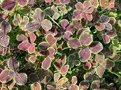 White clover (Trifolium repens). Background