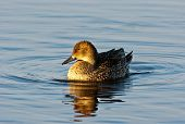 Nothern Pintail Female