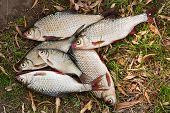 Постер, плакат: Pile Of Freshwater Roach Fish And Bream Freshwater Fish As Background