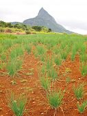 Onion-tails field in Mauritius