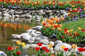 Tulips Reflecting in Pond