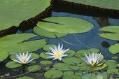 Three Blue Lotus Of Egypt, Nymphaea Caerulea Waterlilies poster