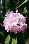 Blooming Of Rhododendron