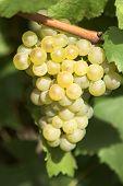 Yummuy Grape