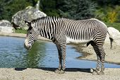 Zebra Of Grevy