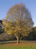 Hornbeam Tree in Autumn
