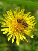 pic of farrow  - Yellow flower green spring bee field macro - JPG